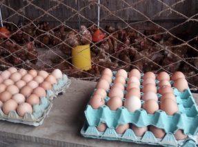 Em Venâncio Aires, a equipe hulhanegrense esteve em uma agroindústria de ovos coloniais, como também em uma de mel e outra de aipim descascado