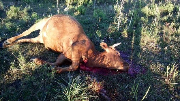 Policiais encontraram bovinos abatidos na propriedade