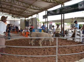Evento acontecerá somente com foco na comercialização de ovinos