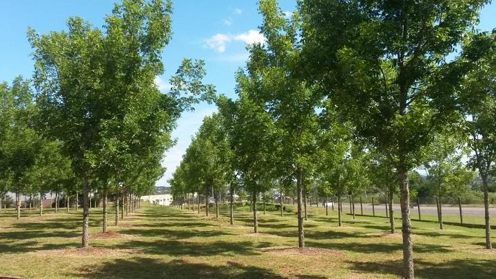 Pomar terá 300 hectares até 2020 com 55,2 mil pés de nogueiras