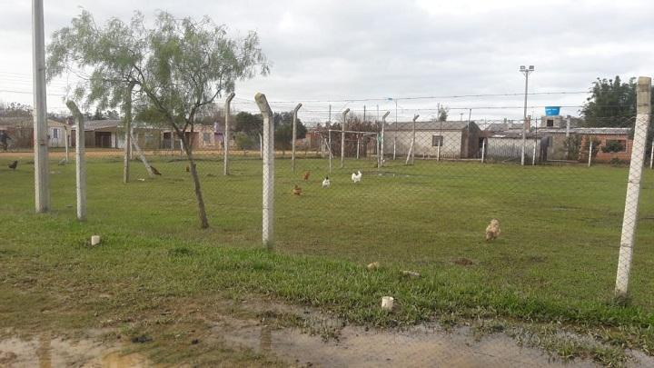 Em Hulha Negra é comum visualizar galinhas soltas em áreas públicas. Conforme a imagem registrada pelo TP, aves tomaram conta da praça da cidade
